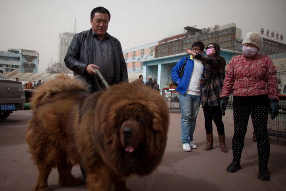 People gather around a Tibetan mastiff dog displayed at a mastiff show in Baoding, Hebei province, south of Beijing on March 9, 2013. Fetching prices up to around $750,000, mastiffs have become a prized status-symbol amongst China's wealthy. Photo: ED JONES, AFP/Getty Images / 2013 AFP