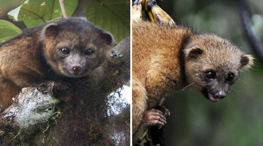 Will the real olinguito please stand up? See if you can spot the olinguito - science's newest mammal  - and its imposter in this 100-year identity mix-up. Photo: Photos By Smithsonian, Getty