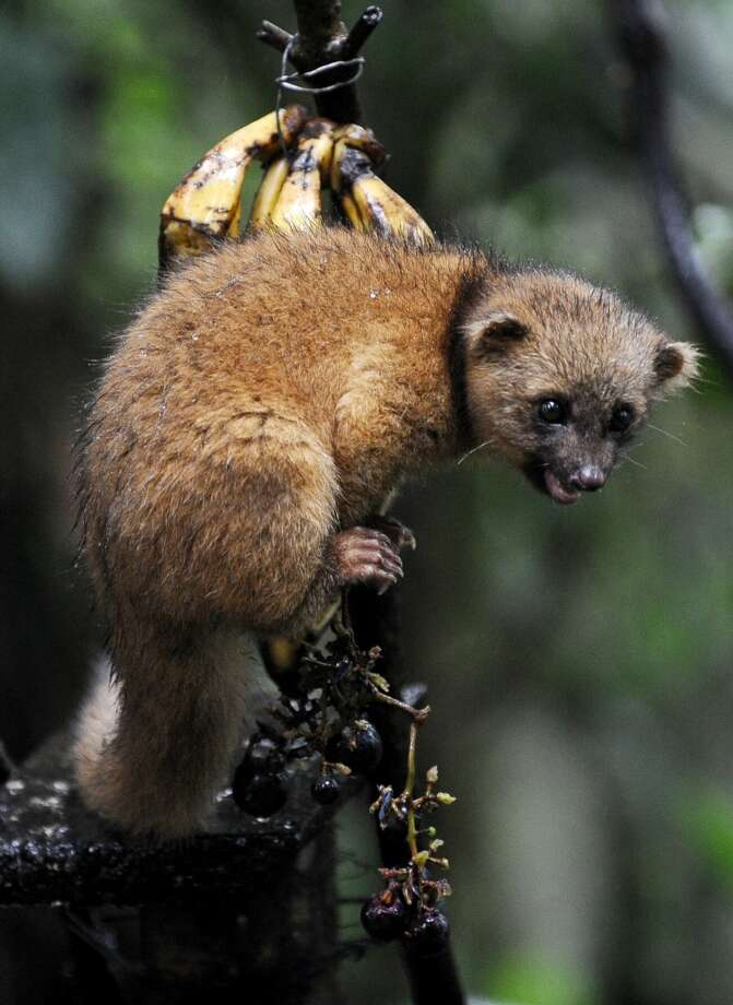 ... olingo, pictured in 2012 in a private reserve Nanegalito, Ecuador. Photo: RODRIGO BUENDIA, AFP/Getty Images