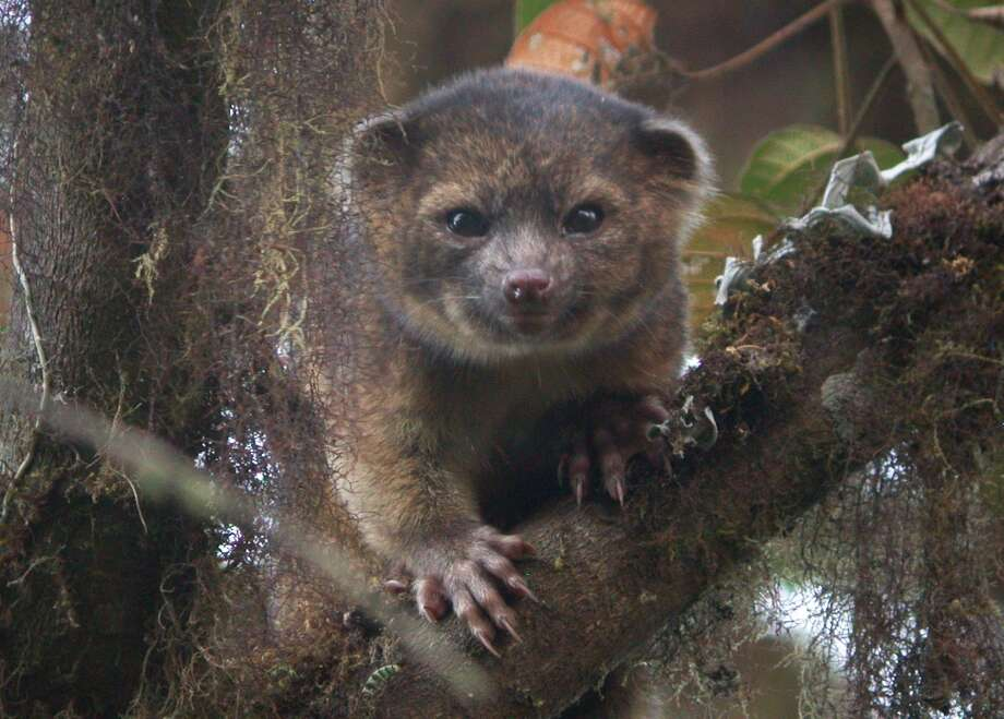 Olinguito. Photo: Handout, Getty Images