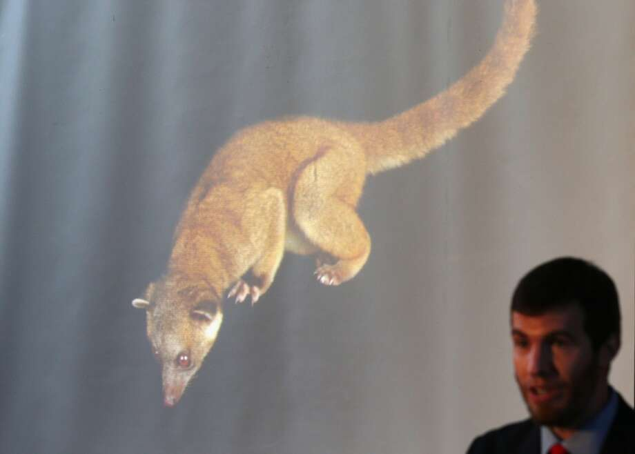 There's a lot of talk about the olinguito being adorable, but those claws seem more intimidating than cute. Still, that long fuzzy tail is pretty irresistible and easy to confuse with the tail of other guy, the olingo (next photo).   (Pictured is Kristofer Helgen, curator of mammals at the Smithsonian's National Museum of Natural History, on Aug. 15, 2013, as he introduces the olinguito. He and his team discovered the species, in part by journeying to its habitat in the cloud forests in South America. Photo: Alex Wong, Getty Images