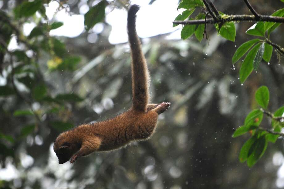 Here's the similarly long fuzzy tail of the olingo in action, in a private reserve in Ecuador. Photo: RODRIGO BUENDIA, AFP/Getty Images