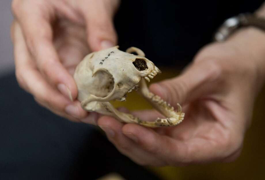 Olinguito skull. The 2-pound mammal is the smallest member of the raccoon family, and mainly eats fruit, insects and nectar. It is found only in the cloud forests of the northern Andes Mountains in Ecuador and Columbia. Photo: SAUL LOEB, AFP/Getty Images