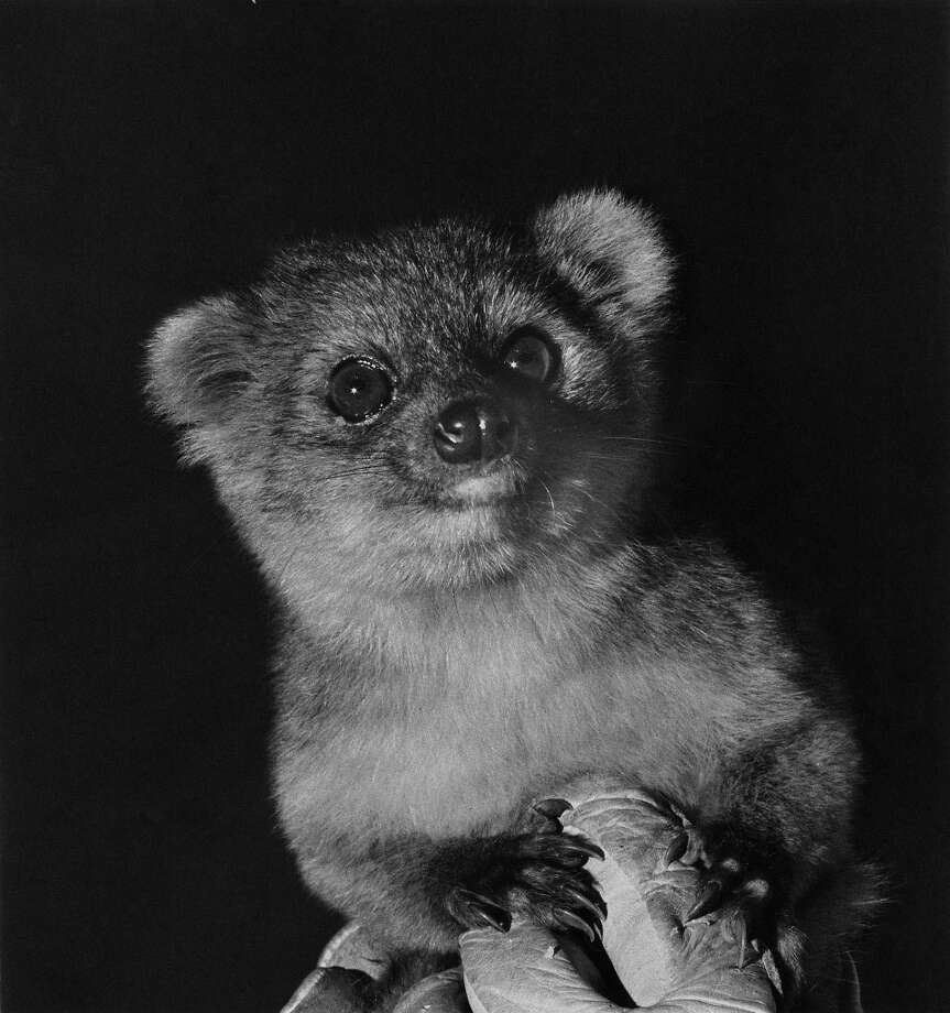 But you may call the olinguito by his proper name, Bassaricyon neblina. Photo: Poglayen-Neuwall For Smithsonian, Getty Images