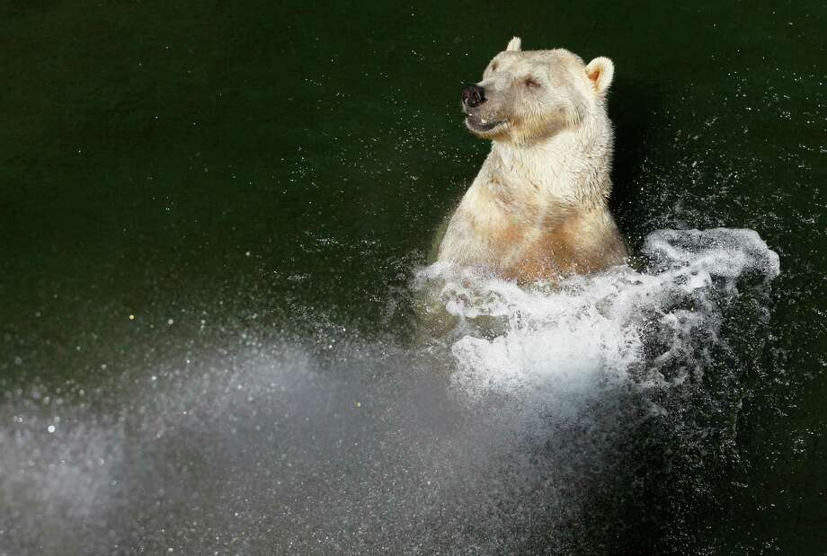 A bear cools off in a heat wave in Belgrade Zoo, Serbia, Thursday, Aug. 8, 2013. Hot weather has set in with temperatures rising up to 38 Celsius (100.5 Fahrenheit) in Belgrade. Photo: Darko Vojinovic, Associated Press / AP