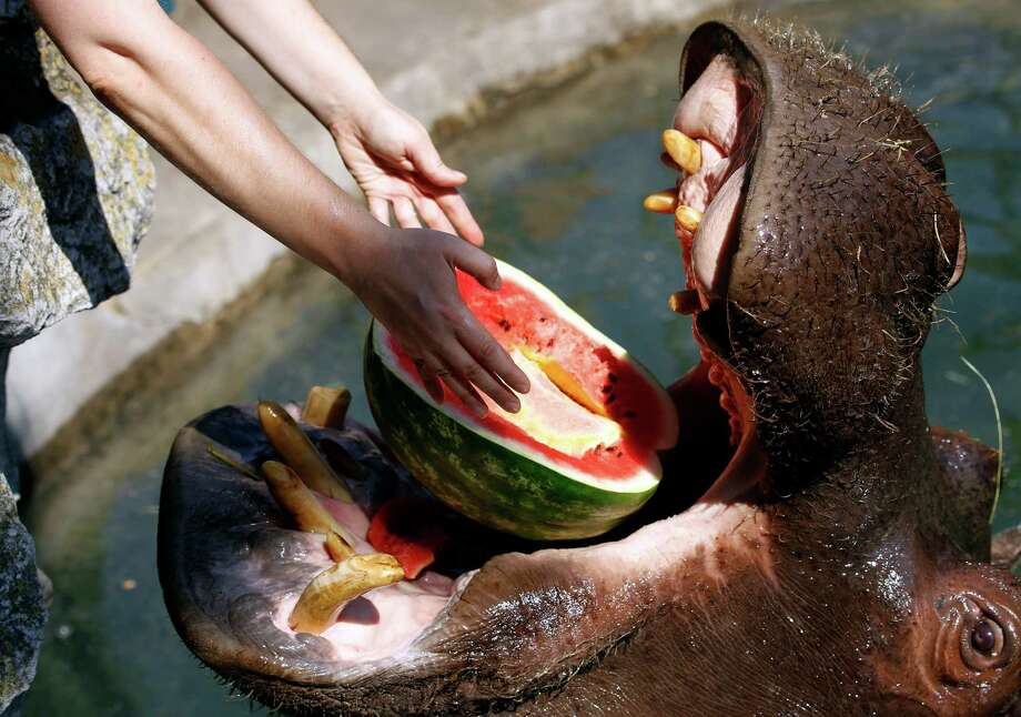 Zookeeper Nadezda Radovic feeds watermelon to female hippo Julka in Belgrade Zoo, Serbia, Thursday, Aug. 8, 2013. Hot weather has set in with temperatures rising up to 38 Celsius (100.5 Fahrenheit) in Belgrade. Photo: Darko Vojinovic, Associated Press / AP