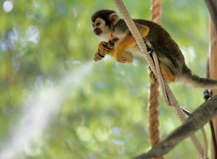 A squirrel monkey sits atop a mister to keep cool at the Phoenix Zoo, Friday, June 28, 2013 in Phoenix. Excessive heat warnings will continue for much of the Desert Southwest as building high pressure triggers major warming in eastern California, Nevada, and Arizona. Dangerously hot temperatures are expected across the Arizona deserts throughout the week with a high of 118 Friday. Photo: Matt York, Associated Press / AP