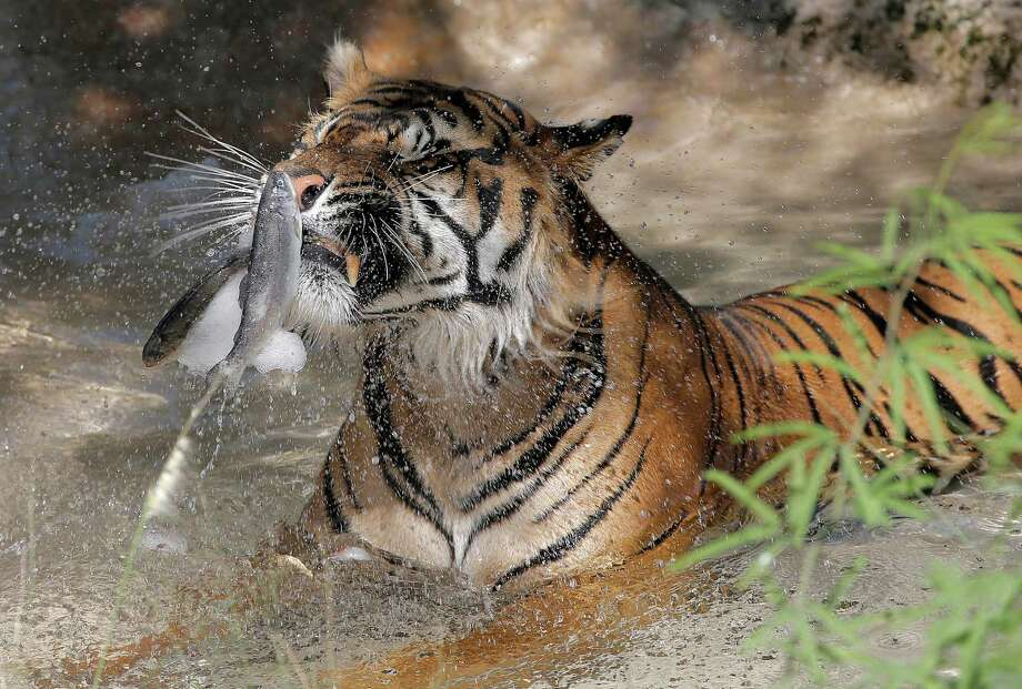 Jai, a tiger at the Phoenix Zoo, breaks apart frozen trout while sitting in his pool to keep cool, Friday, June 28, 2013 in Phoenix. Excessive heat warnings will continue for much of the Desert Southwest as building high pressure triggers major warming in eastern California, Nevada, and Arizona. Dangerously hot temperatures are expected across the Arizona deserts throughout the week with a high of 118 Friday. Photo: Matt York, Associated Press / AP