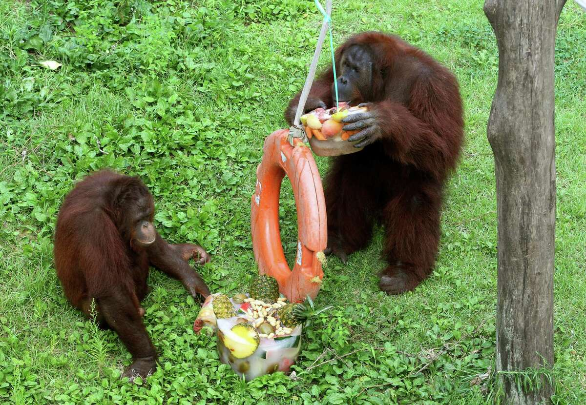 Orangutans eat fruits in the ice at the Seoul Zoo in Gwacheon, South Korea, Monday, Aug. 12, 2013. The zoo gave the special iced treat to the animals to help them overcome the hot summer weather.