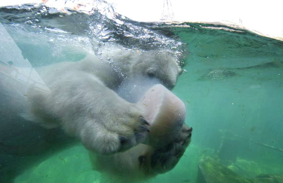 Male polar bear 'Sprinter' swims with a lump of frozen food consisting of fish, meat, and yoghurt in a pool in the zoo of Hanover, central Germany, on June 18, 2013. The animals are provided with the frozen food as a refreshment on a hot summer's day. Photo: JOCHEN LÜBKE, AFP / Getty Images / DPA