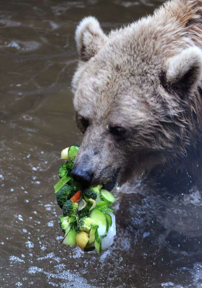 A brown bear refreshes with vegetables frozen in an ice cube on July 23, 2013 at the La Fleche zoo, western France. Keepers at the zoo prepare cold treats for animals to give them respite from the hot weather. Photo: JEAN-FRANCOIS MONIER, AFP / Getty Images / AFP JEAN FRANCOIS MONIER