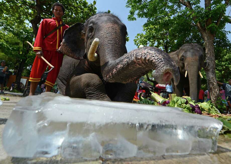 Elephants enjoy pieces of ice and frosted fruits during hot weather at Dusit Zoo in Bangkok on April 2, 2013. The Thai Meteorological Department forecasted temperatures between 38 to 40 degrees celsius. Photo: AFP / Getty Images