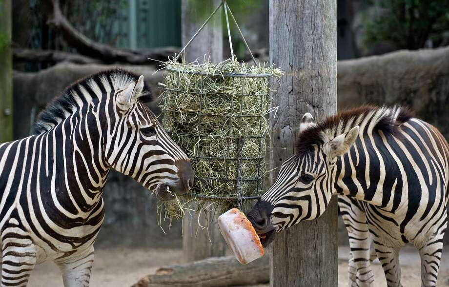 A pair of Zebra treat themselves with an iced carrot block (C) at the Taronga Zoo in Sydney on January 8, 2013. Keepers at the Taronga zoo prepared cold treats for animals to give them respite from the hot weather. Photo: AFP / Getty Images