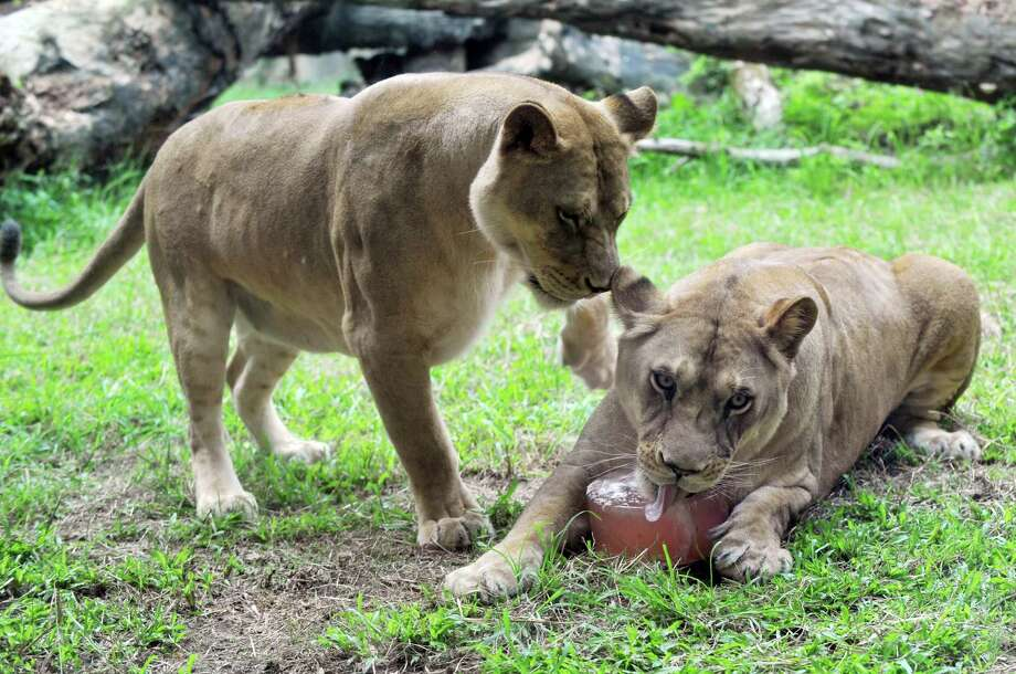 Lions enjoy an ice block at Taipei Zoo on July 9, 2013. Keepers at the Taipei Zoo prepared cold treats for animals to give them respite from the hot weather. Photo: AFP, AFP / Getty Images / 2013 AFP