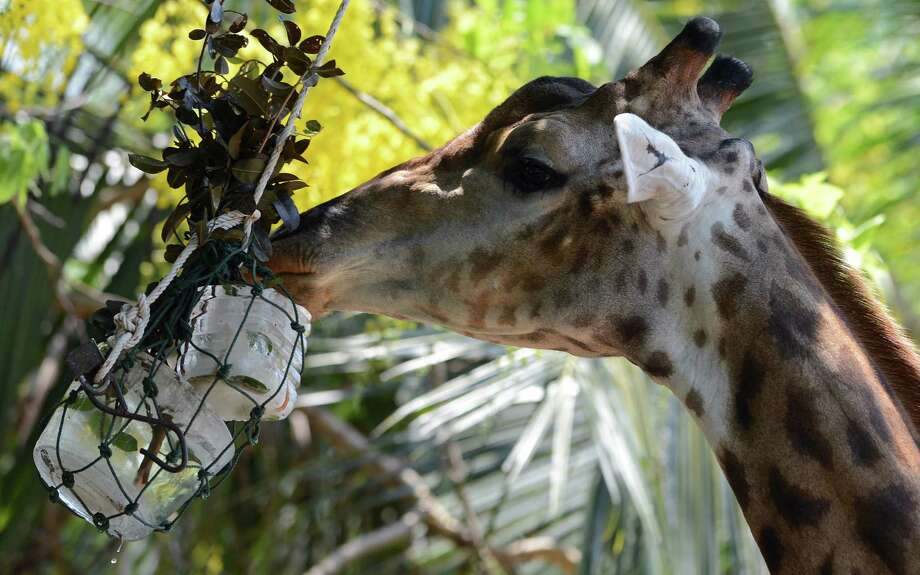 A giraffe licks ice during hot weather at Dusit Zoo in Bangkok on April 2, 2013. The Thai Meteorological Department forecasted temperatures between 38 to 40 degrees celsius. Photo: AFP / Getty Images