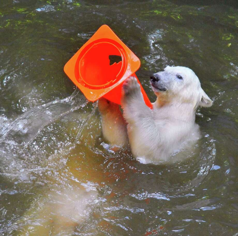 The eight-month-old male cub Nanuk has taken to wearing the plastic traffic cone as a hat to protect from the sun in his enclosure under the supervision of his mother female polar bear Cora and sister Kometa at Brno ZOO on July 24, 2013 in Brno, Czech Republic. Both cubs were born on November 2012. According to Czech forcasters last week was one of the driest weeks since 1951 and continuing sunshine with temperatures reaching above 40 degrees Celsius for another hot weekend has been reported. Photo: Isifa, Getty Images / 2013 isifa