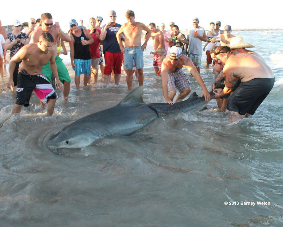Spectators help to subdue an 11-foot tiger shark on the beach south of the Packery Channel. Photo: Courtesy Photo / Barney Welch
