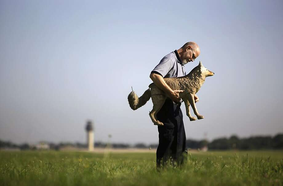 """In this Aug. 9, 2013, photo, Bill Scamehorn, operation technician at the Kalamazoo/Battle Creek International Airport, repositions """"Pickle,"""" one of the coyote decoys used to deter waterfowl and wildlife from the flight path in Kalamazoo, Mich. The Kalamazoo Gazette reports that the decoys are being used to scare small animals and large birds away from airport runways. If planes hit the birds or animals, it can cause damage and a dangerous situation. (AP Photo/Kalamazoo Gazette-MLive Media Group, Mark Bugnaski) Photo: Mark Bugnaski, Associated Press"""