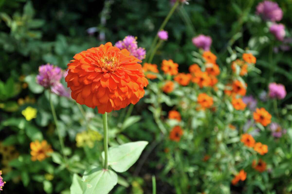 As powdery mildew takes a toll on zinnias in the late-summer garden, remove the affected plants.