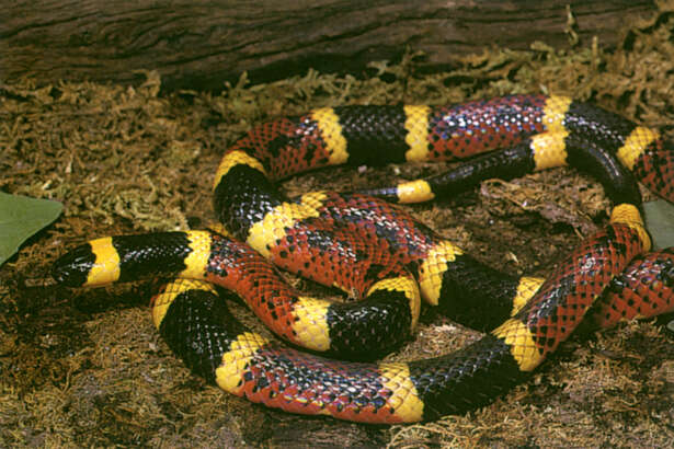 A real coral snake (Houston Chronicle)