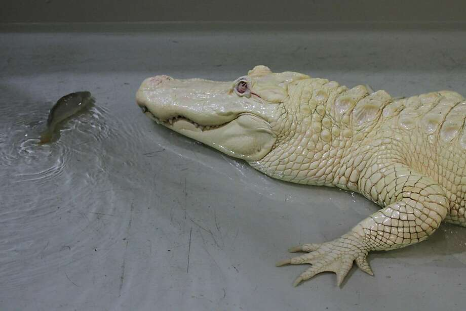 Don't fall for that smile! If this fish gets any closer to an albino crocodile at the zoo in 