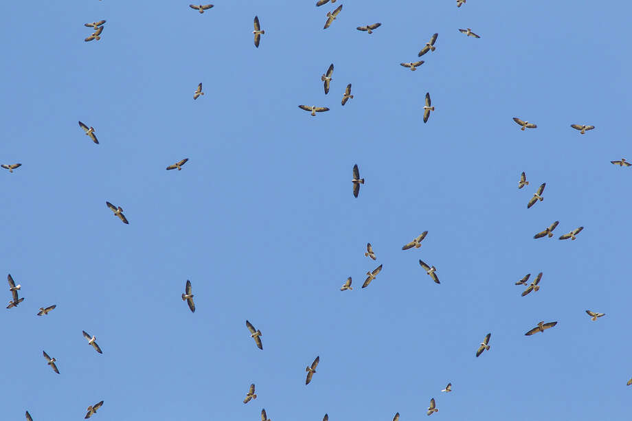 Thousands of migratory hawks, like these Swainson's hawks, will be migrating south through October. Photo: Kathy Adams Clark / Kathy Adams Clark/KAC Productions