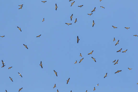 Thousands of migratory hawks, like these Swainson's hawks, will be migrating south through October.