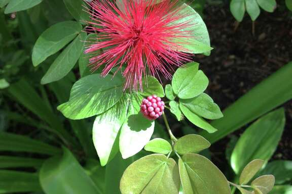 Butterflies and hummingbirds are drawn to the fuzzy flowers of fairy duster, Calliandra emarginata.