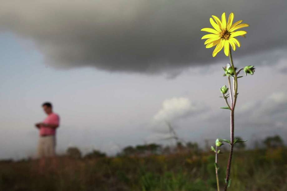 Rosinweed stands as plant enthusiasts scour a pristine coastal prairie off Spencer Highway Nov. 2, 2011 in Deer Park, TX. Their goal was to harvest plants and seeds. (Eric Kayne/For the Chronicle) Photo: Eric Kayne, For The Chronicle / 2011 Eric Kayne