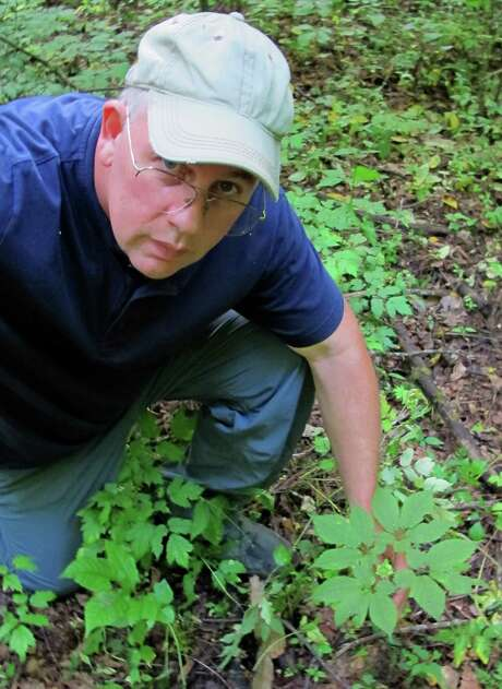 Jim Corbin, plant protection specialist in Great Smo-ky Mountains National Park, shows wild ginseng. Photo: David Zucchino, MBR / Los Angeles Times