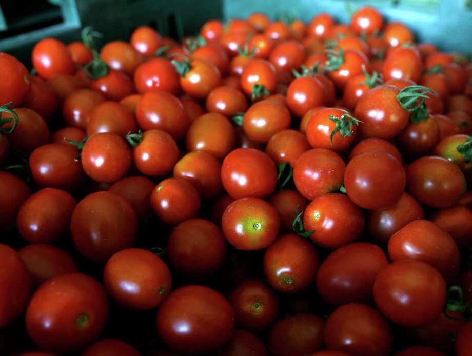 Fresh cherry tomatoes are stored in a barn at Denison Farm on Monday, Aug. 12, 2013, in Schaghticoke, N.Y. (AP Photo/Mike Groll) Photo: Mike Groll, STF / AP