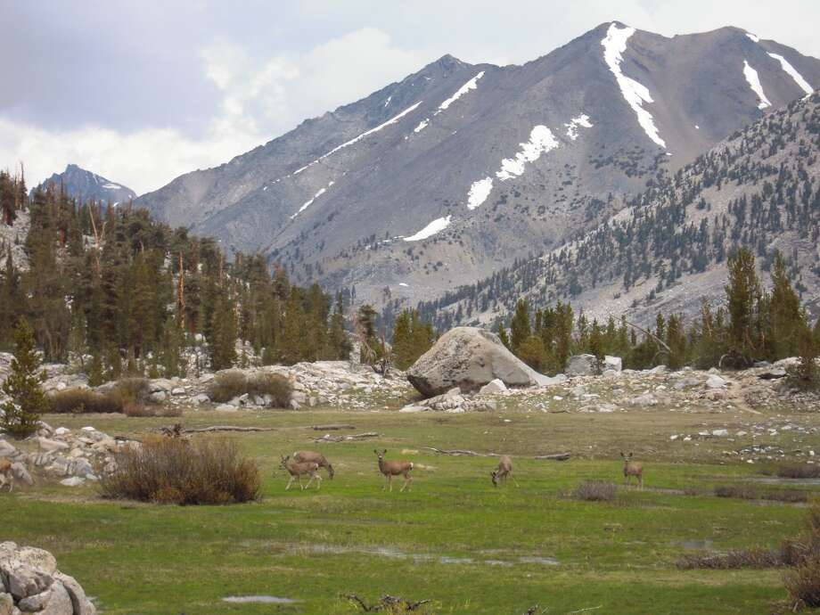 Deer herd at Crabtree Meadow  near the flank of Mount Whitney Photo: Josh Garrett