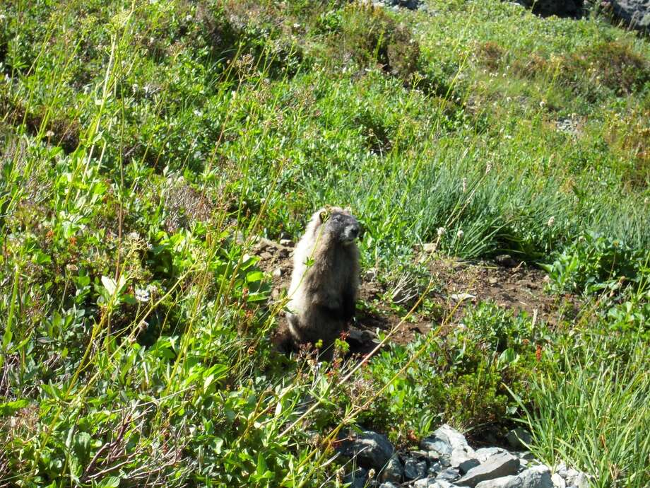 Marmot, common in the Kings Canyon high country, think they are invisible if they don't move Photo: Josh Garrett