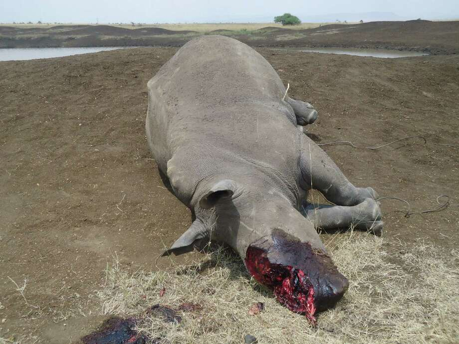 """In this photo of Sunday Aug. 10, 2013 provided by Kenya Wildlife Services a dead rhino killed by poaches in Nairobi National park is seen. Kenyan Wildlife Service officials say armed poachers shot and killed a white rhino and cut off its horn, the first poaching death of a rhino in the urban park in six years. Nairobi resident Chris Donohue said Tuesday Aug. 13, that he and his family saw the poached rhino during a safari drive on Sunday. Donohue said the sighting was """"pretty traumatic"""" and showed how endangered rhinos are. The killing brings to 35 the number of rhinos killed in Kenya so far this year, a sharp rise from the 29 killed in total in 2012. Photo: AP"""