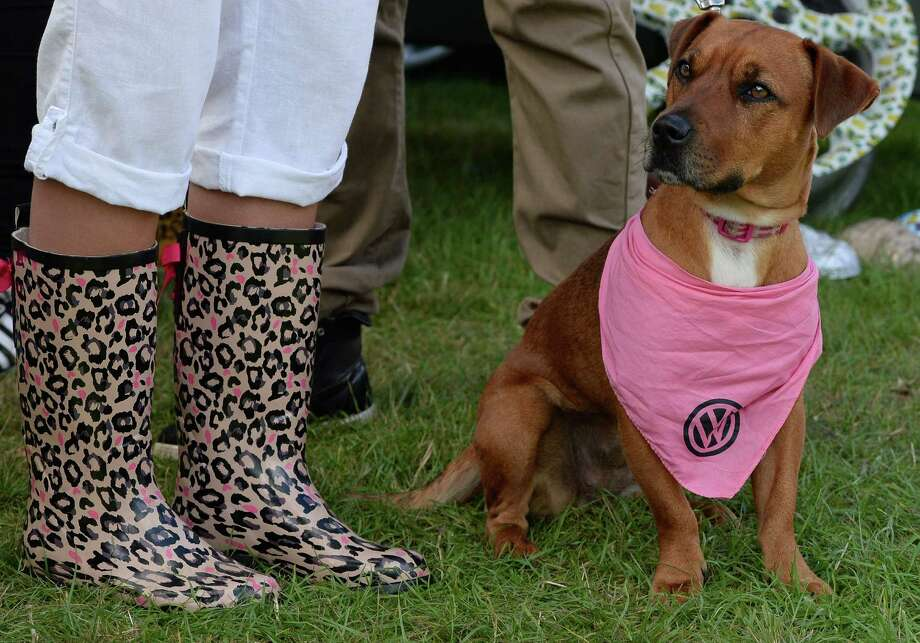 A dog wears a VW scarf during the 'In Praise Of All Things VW At The Annual Festival' at Harewood House on August 18, 2013 in Leeds, England. The annual VW festival is in its 9th year attracting around 15,000 people over the weekend, ending with the winners car parade on Sunday. Photo: Nigel Roddis, Getty Images / 2013 Getty Images