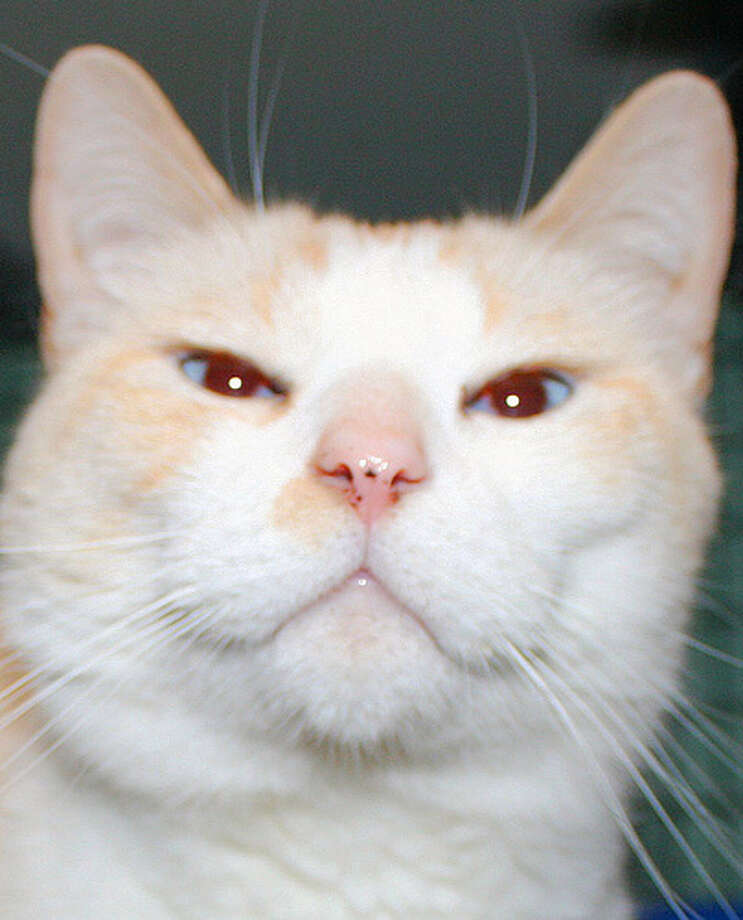 Brandy is a young, gorgeous flame-point Siamese with slightly crossed blue eyes. Like others of his breed, Brandy is very vocal. (Mary Lou Baker)
