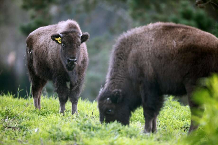 Try to get the attention of the Golden Gate Park bison. Photo: Lance Iversen, The Chronicle