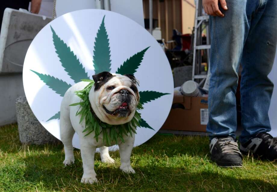 "A dog named ""Lisa Left Eye"" wears a marijuana necklace during the second day of the annual Hempfest Saturday, Aug. 17, 2013. This is the first year for the annual pro-pot rally since Washington State voters legalized recreational use of marijuana. (Sy Bean, seattlepi.com) Photo: SY BEAN, SEATTLEPI.COM"