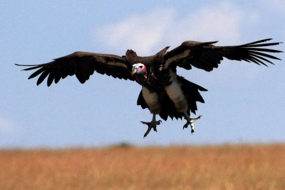The agency killed3,367 vultures in 2013 budget year. Photo: Manoj Shah, Getty Images / (c) Manoj Shah