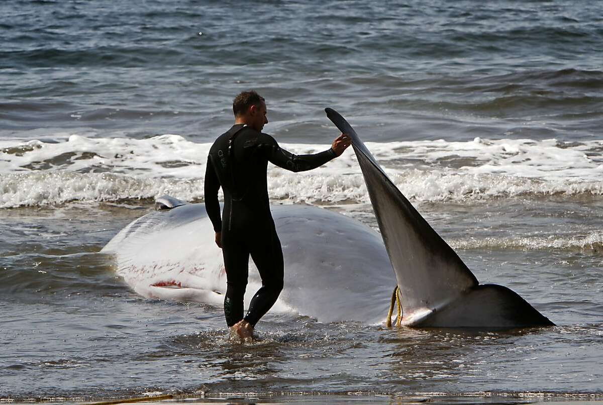 National Park Service lifeguard Patrick Burns tried to harness the stranded whale.