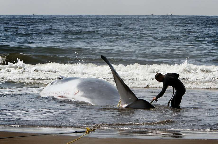 National Park Service lifeguard Patrick Burns works to harness a 42-foot fin whale calf that beached itself in Stinson Beach, Calif., Monday, August 19, 2013.  High tide did not wash the whale back out to sea, so it died there Monday morning.  The park service brought the whale as close to shore as it could, and will wait until low tide to perform a necropsy. Photo: Sarah Rice, Special To The Chronicle