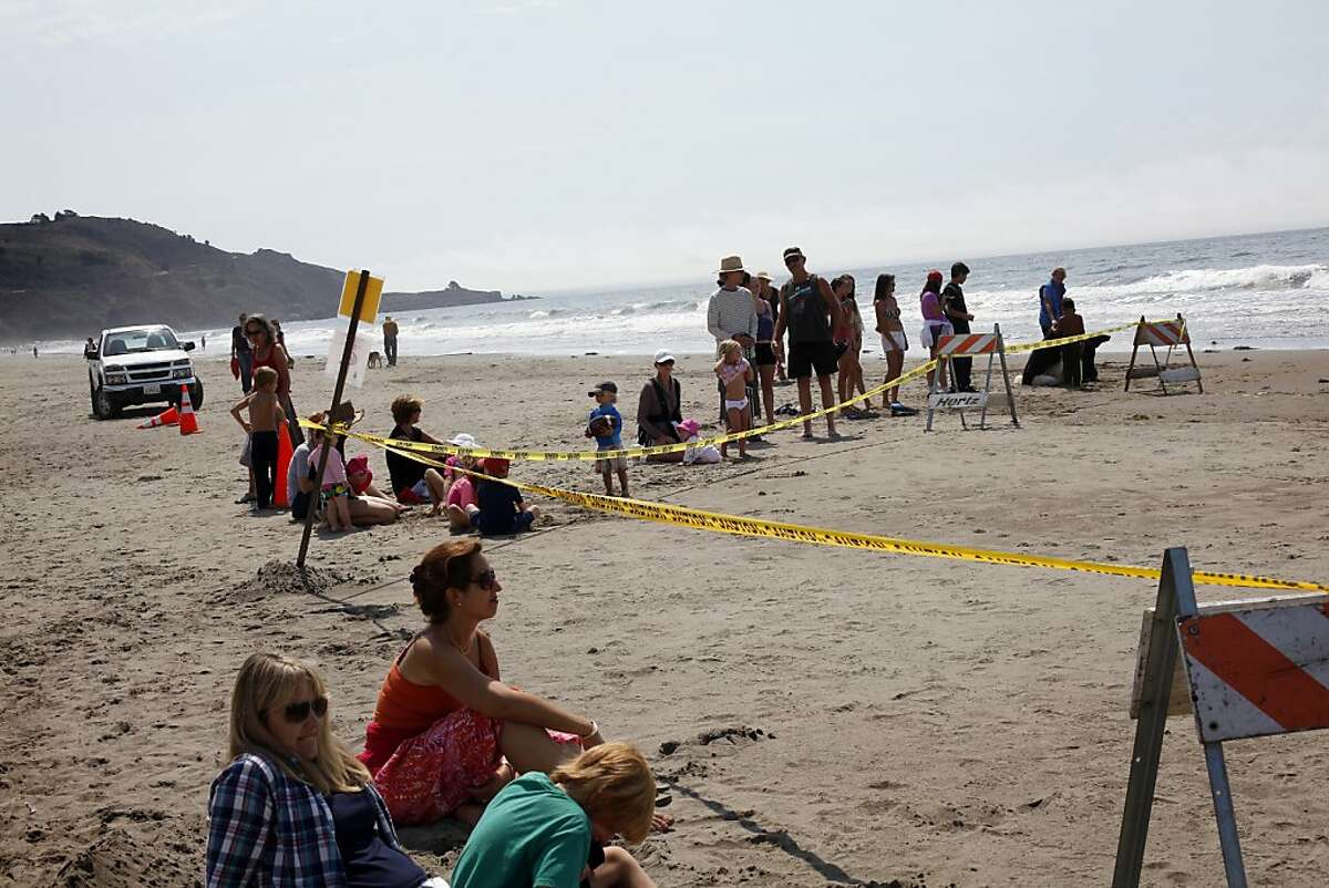 Crowds gather to see a 42-foot fin whale calf that died after it beached itself in Stinson Beach, Calif., Monday, August 19, 2013. High tide did not wash the whale back out to sea, so it died there Monday morning. The park service brought the whale as close to shore as it could, and will wait until low tide to perform a necropsy.