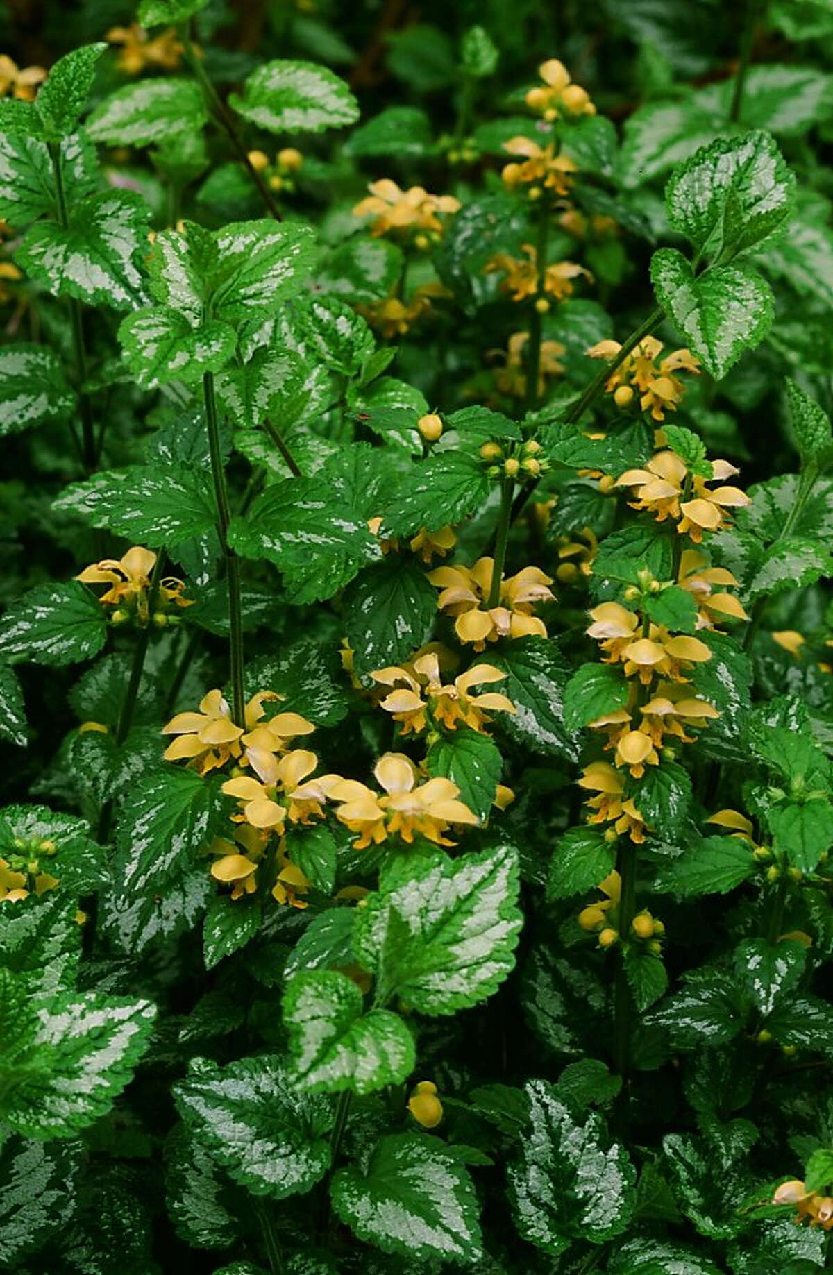 A creeping and trailing groundcover, yellow archangel's main attraction is the flash of silver on its leaves. The clear yellow flowers have a short season.