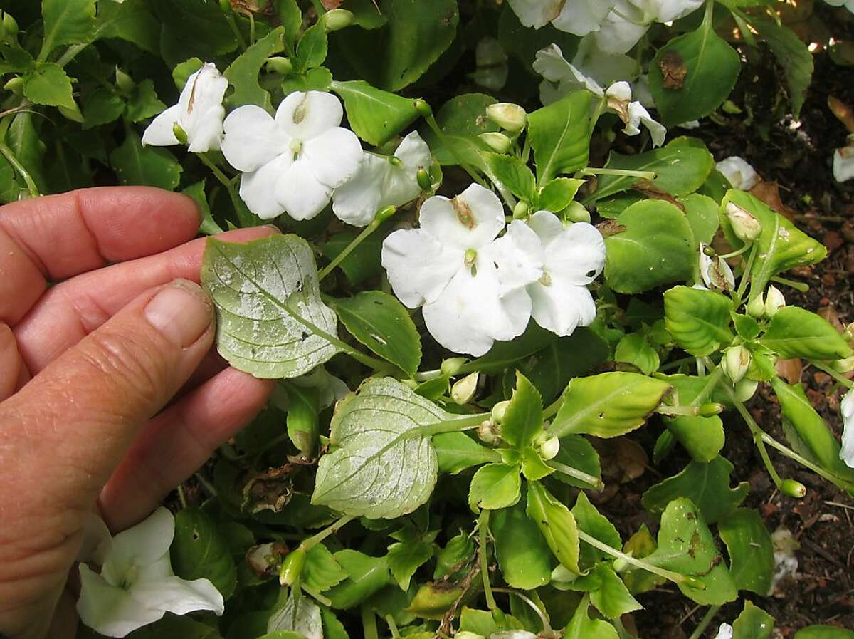 Plants with impatiens downy mildew have yellowish or discolored leaves. Soon after, a dusting of white spores appears on leaf undersides. Plants will not recover.