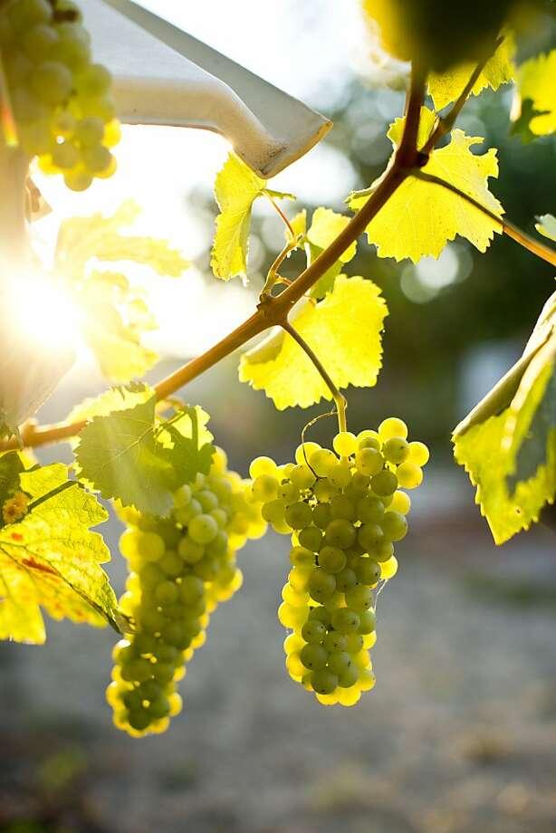 Ribolla Gialla grapes grow at Tanya's Vineyard near Santa Rosa. Photo: Jason Henry, Special To The Chronicle