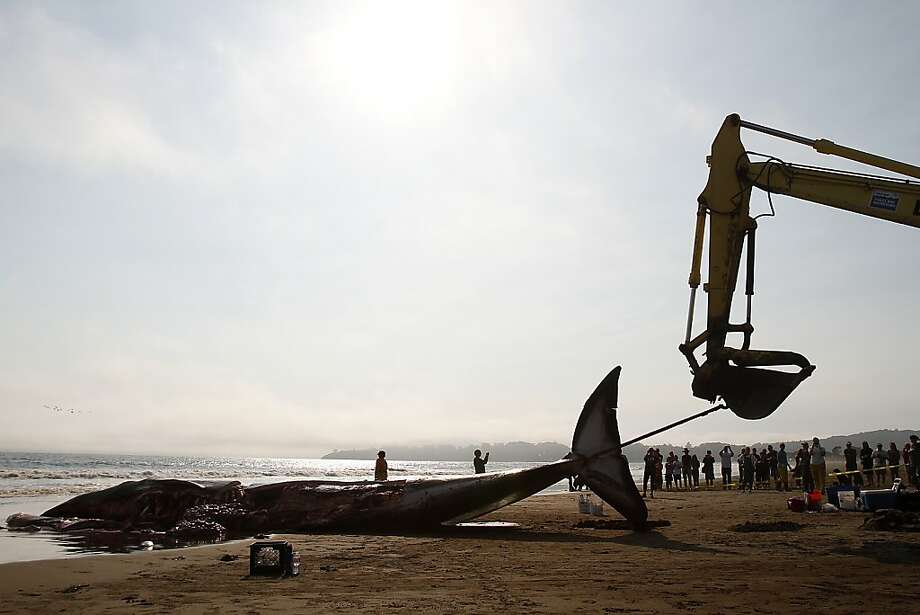 An excavator can't move a 42-foot fin whale calf that beached itself then died in Stinson Beach, Calif., Monday, August 19, 2013.  Crews had to work to dismantle the whale before it could be buried.  It was estimated to be about a year old, and full grown fin whales can be between 40-80 tons. Photo: Sarah Rice, Special To The Chronicle