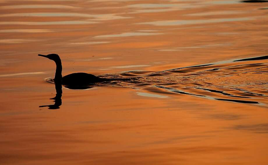 A cormorant skims across the surface of a pond in Lions Park in Bremerton, Wash. Photo: Larry Steagall, Associated Press