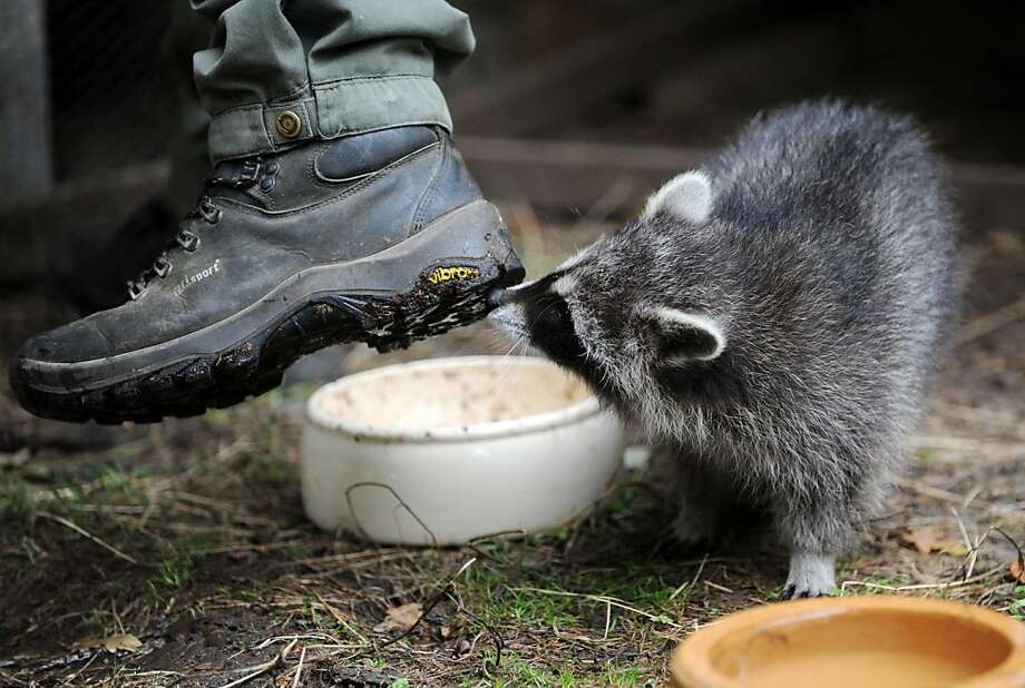 Something smells good:A raccoon is very interested in what the zookeeper stepped in at Edersee wildlife park in Edertal-Hemfurth, Germany. Photo: Uwe Zucchi, AFP/Getty Images