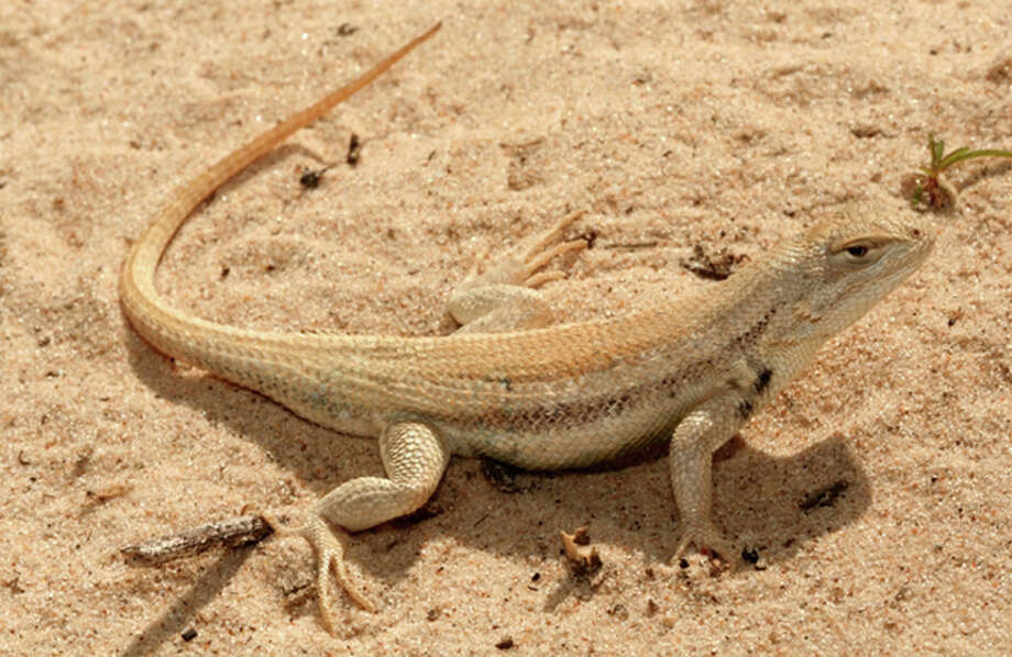 This undated file photo provided by the U.S. Fish and Wildlife Service shows a sand dune lizard in Chaves County, N.M. WildEarth Guardians, a conservation group, is demanding emergency listing under the Endangered Species Act for the lizard found only in isolated parts of New Mexico and Texas. The group argues in a petition filed Thursday, April 10, 2008 with the U.S. Fish and Wildlife Service in Washington, D.C., that while the lizard is on the endangered species candidate list it could be a year before the agency decides whether the reptile warrants federal protection. (AP Photo/U.S. Fish and Wildlife Service) Photo: HO, U.S. FISH AND WILDLIFE / HO