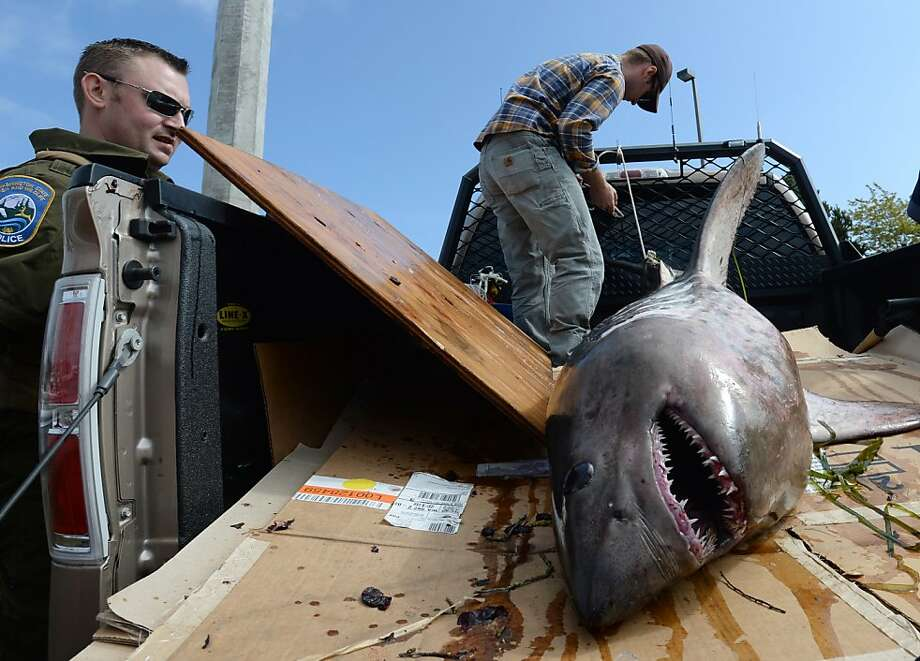 Washington State Department of Fish and Wildlife officer Zach Gaston looks at  a dead  five-six foot salmon shark  removed from  Squalicum Harbor in Bellingham, Wa.,  Tuesday morning, Aug. 19, 2013. while officer Joshua Koontz ties it down in a truck. The cause of the  shark's death is under investigation. (AP Photo/The Bellingham Herald, Philip A. Dwyer) Photo: Philip A. Dwyer, Associated Press